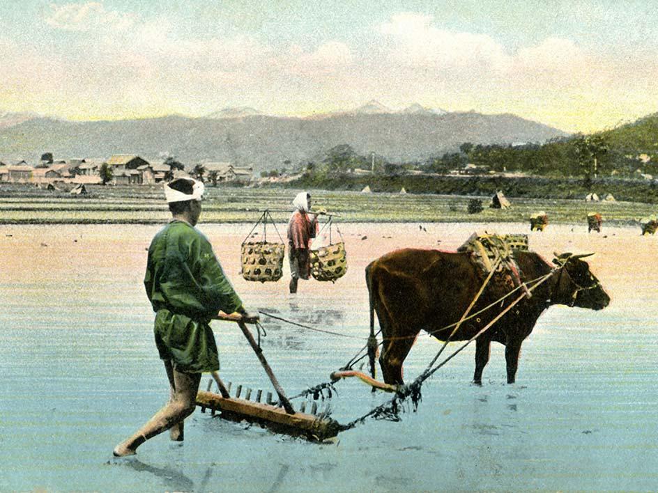 Das Wagyu als Arbeitstier auf einem Reisfeld in Kobe, Japan