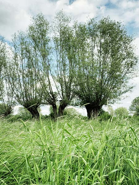 Drei grosse Kopfweiden in den Naturschutzwiesen am Altrhein