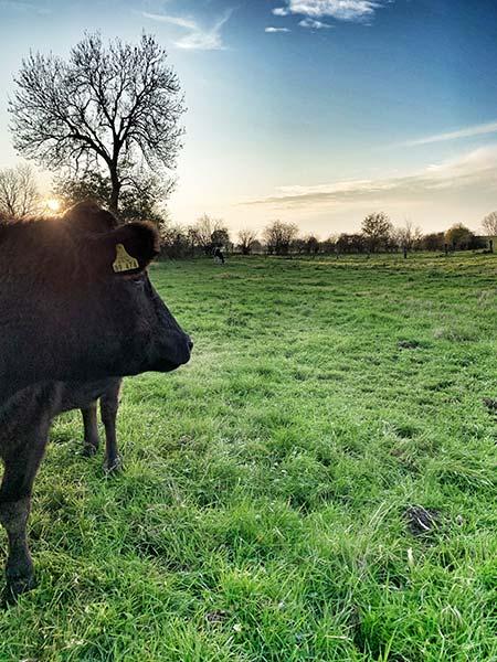 Ein Wagyu Rind in den Naturschutzwiesen am Altrhein schaut in den Sonnenuntergang