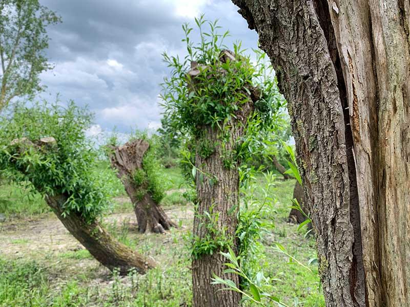 Geschnittene Kopfweiden in den Naturschutzwiesen am Altrhein