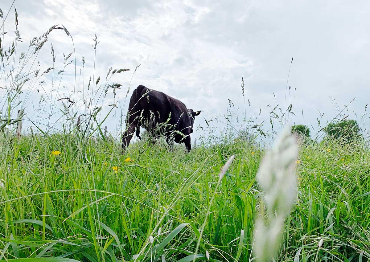 Ein Wagyu Rind in der Naturschutz Wiese am Altrhein