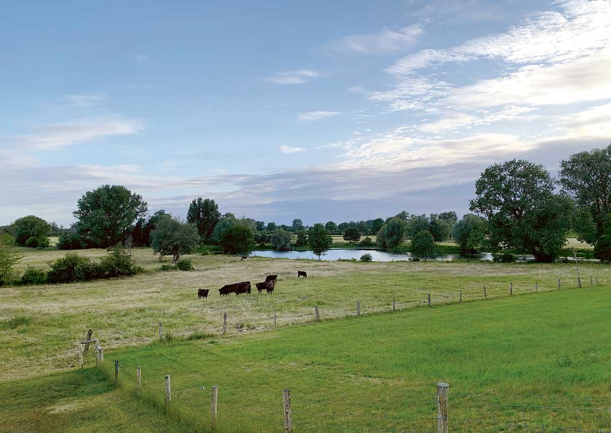 Die Wagyu Herde auf den Naturschutzwiesen am Altrhein