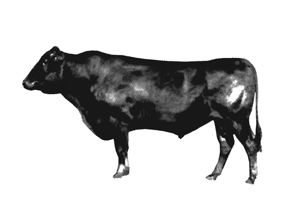 Eine historische Zeichnung von einem Wagyu Rind